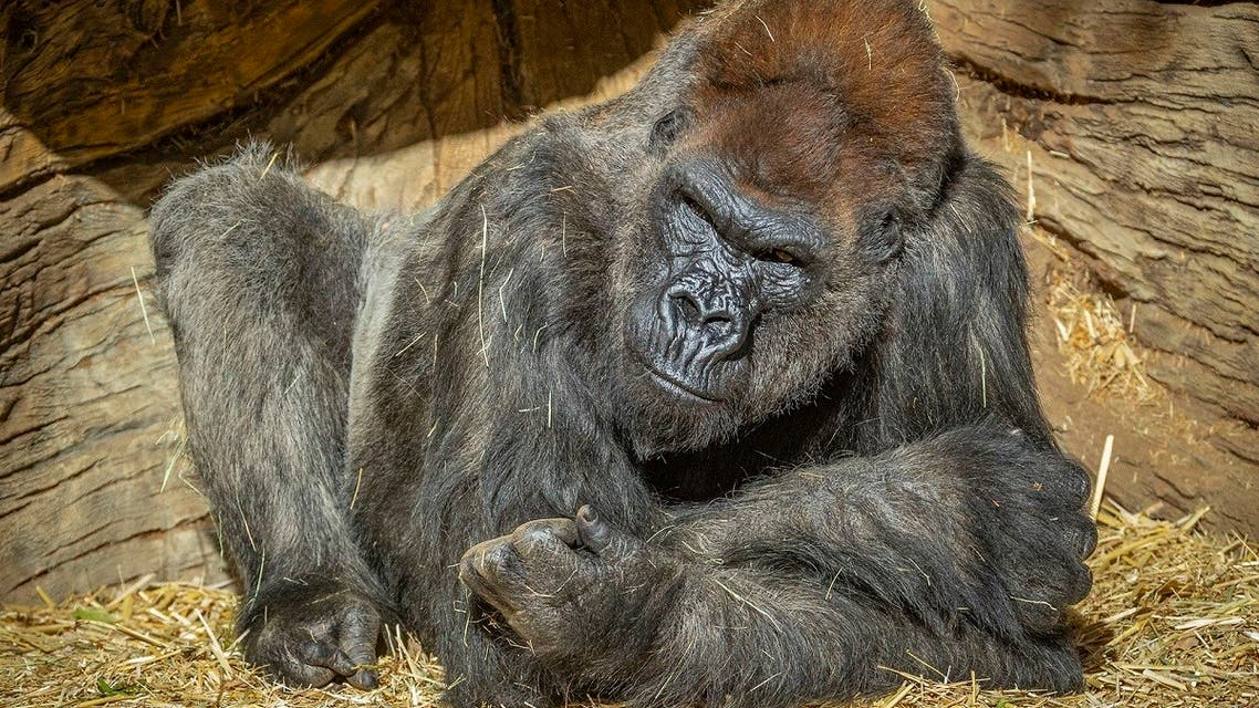 Gorillas have tested positive for COVID-19 at a California zoo. (Twitter)