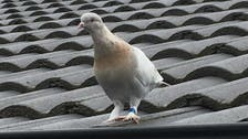 US pigeon who flew to Australia may 'face consequences' of illegal entry: Deputy PM
