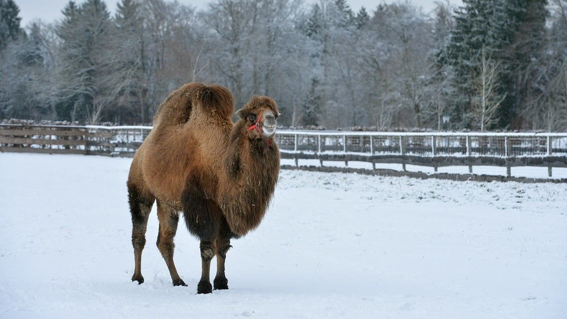 A file photo shows a camel stands on a snow covered field in Iffeldorf, southern Germany, Friday, Dec. 26, 2014. (AP/Kerstin Joensson)