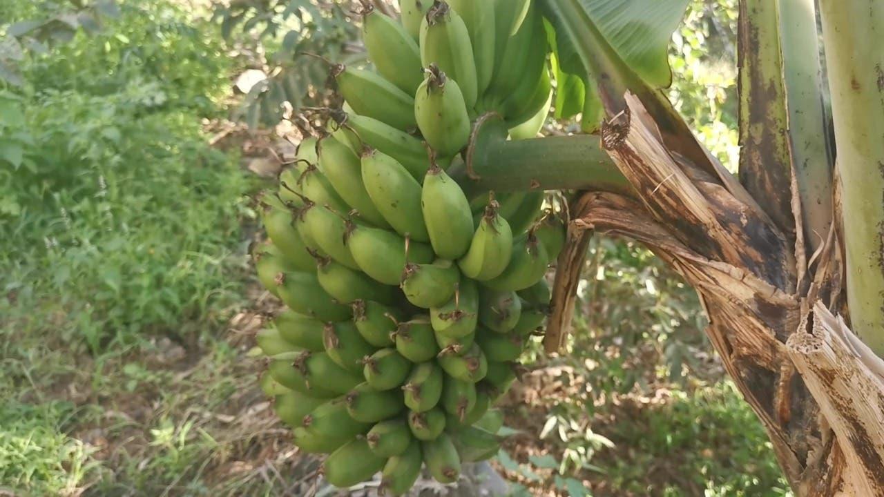 إحدى أشجار الموز في فيفاء