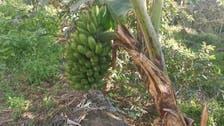 هذا ما يميّز موز فيفاء الجبلي عن باقي أنواع هذه الفاكهة