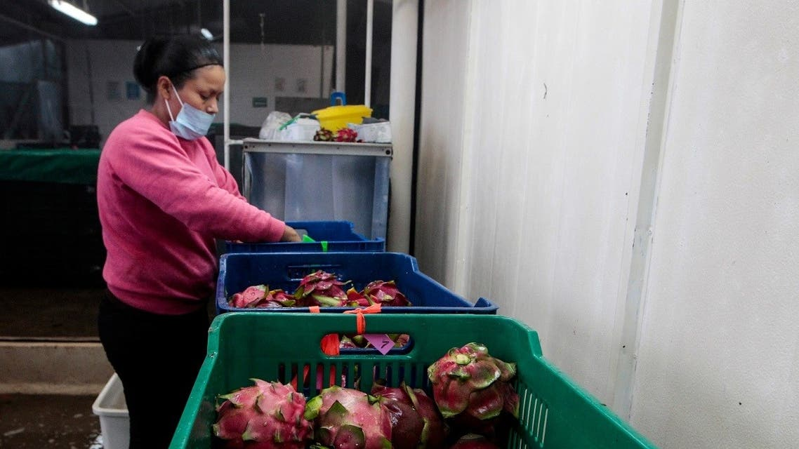 A woman sorts and packs dragon fruits, also known as Pitaya, for export at a facility of fruit exporter Tropisol at the town of La Concha, Nicaragua July 5, 2017. (Reuters/Oswaldo Rivas)