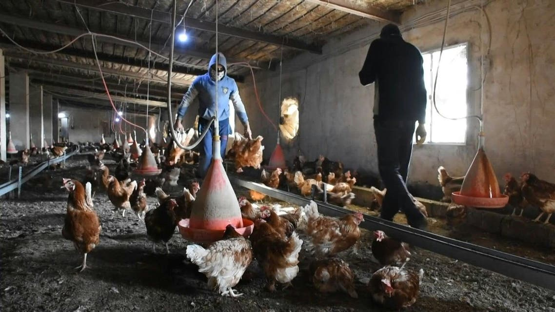 Workers carry dead hens due to an outbreak of bird flu virus near the town of Samarra. (AFP)