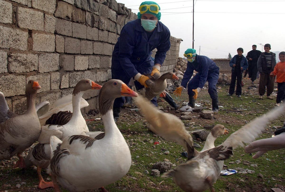 Iraqi health workers collect ducks from local village farms, Wednesday, Feb. 8, 2006, on the outskirts of Sulaimaniyah, 260 kilometers (160 miles) northeast of Baghdad, Iraq.  (AP)