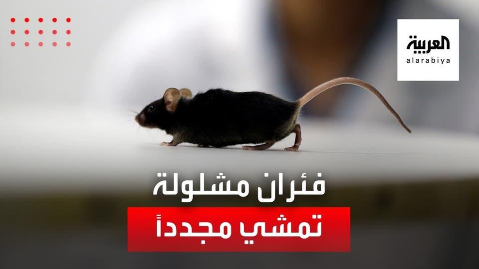 اختراق علمي.. فئران مشلولة تتمكن من السير مجددا