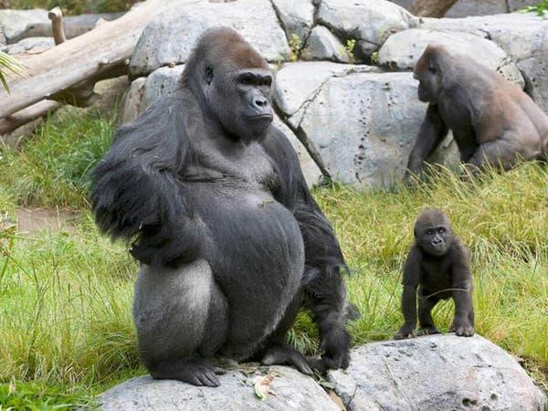 گوریل های باغوحش ساندیگو واکسن کووید 19 حیوانات دریافت میکنند