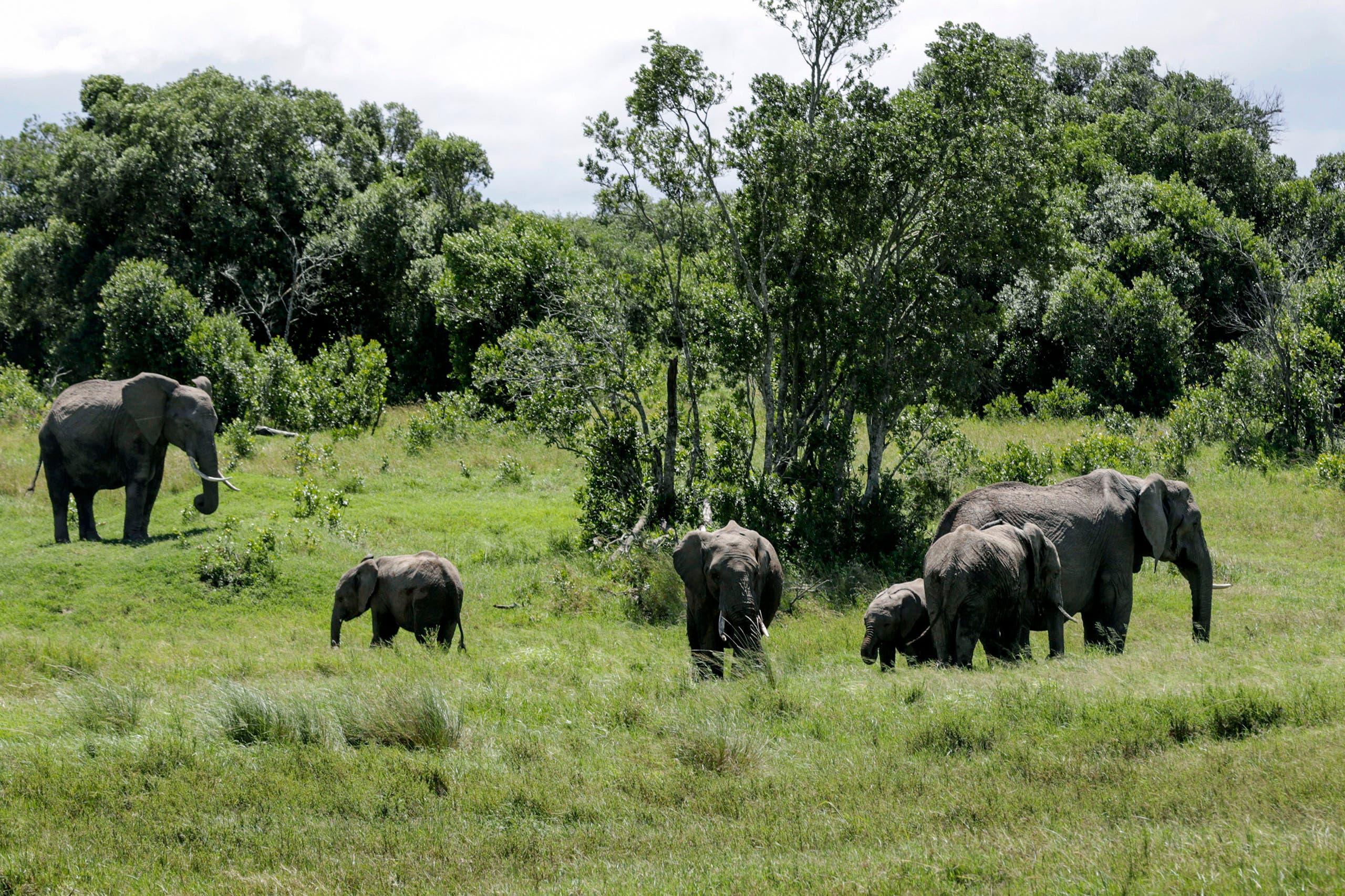 In this photo taken Saturday, May 2, 2020, a family of elephants graze in Ol Pejeta conservancy, Kenya. AP