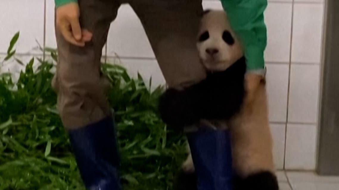 Baby panda Fu Bao clings on to a zookeeper. (Screengrab)