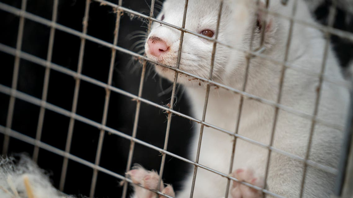A mink looks out from its cage at a farm. (AFP)