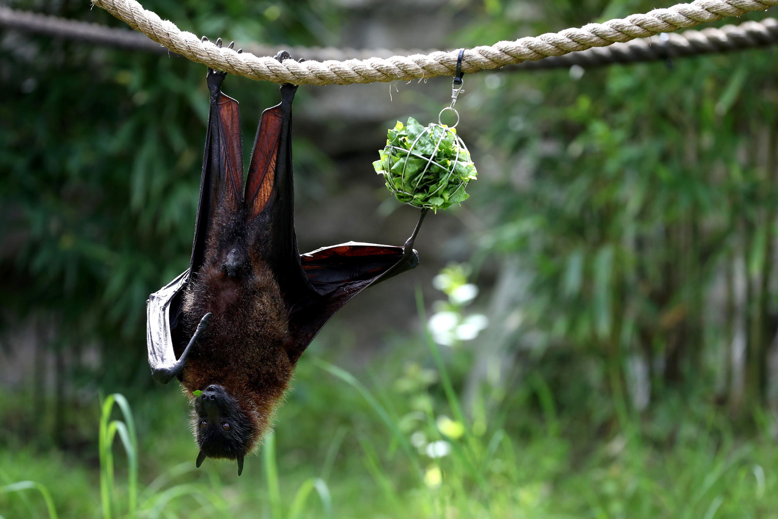 This file photo shows a fruit bat eats lettuce as it hangs from a rope. Fruit bats are the natural host of the Nipah virus. (AFP)