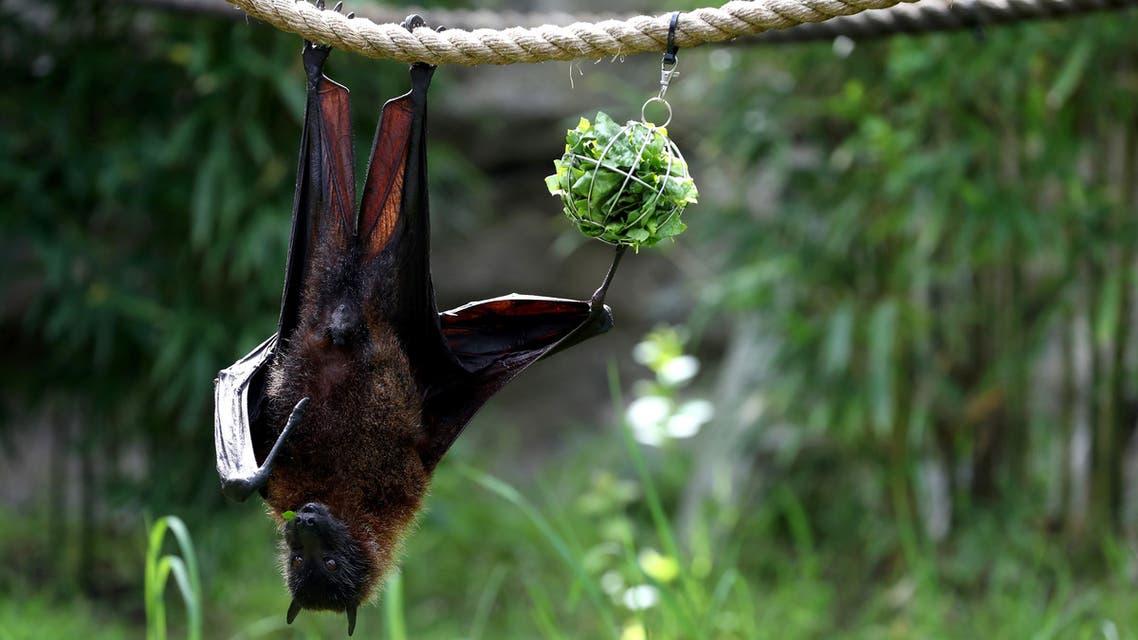 A fruit bat eats lettuce as it hangs from a rope (AFP)