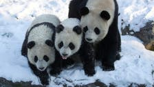 Twin pandas frolic in the snow at Belgian zoo as cold weather hits Europe