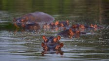 Calls for culling of Pablo Escobar's hippos over threats to biodiversity: Scientists