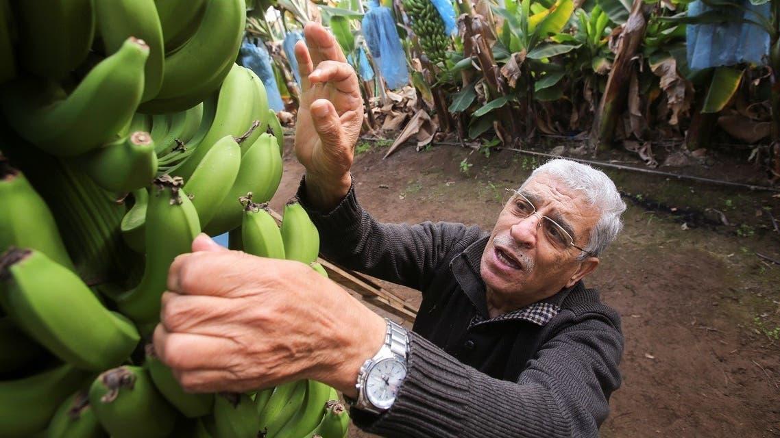 Algerian farmer Mostefa Mazouzi checks on bananas at his banana farm in Sidi Fredj. (Reuters)