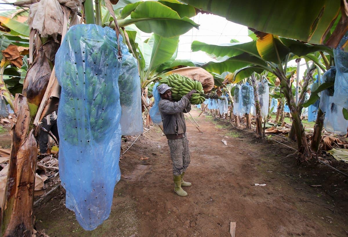 Worker carries a bunch of bananas at Mostefa Mazouzi's banana farm in Sidi Fredj. (Reuters)