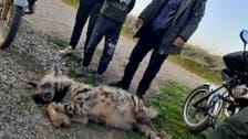 حيوان مفترس يرعب البشر يقتله حظه العاثر في سوريا