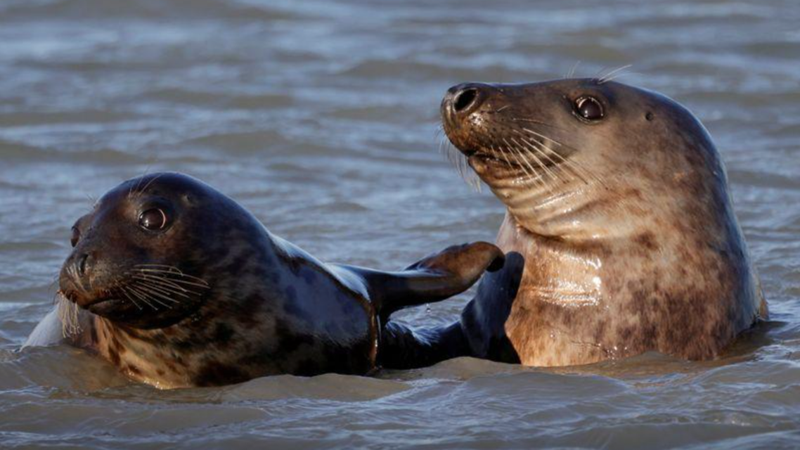 Grey seals swim in the North Sea close to Walde lighthouse in Marck near Calais, France, February 13, 2021. (Reuters)