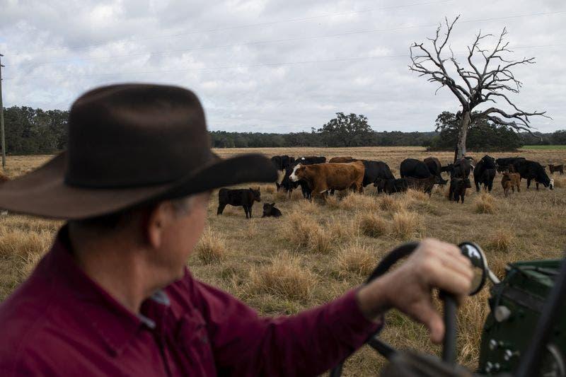 جفاف المحاصيل يهدد بتقليص قطعان الماشية