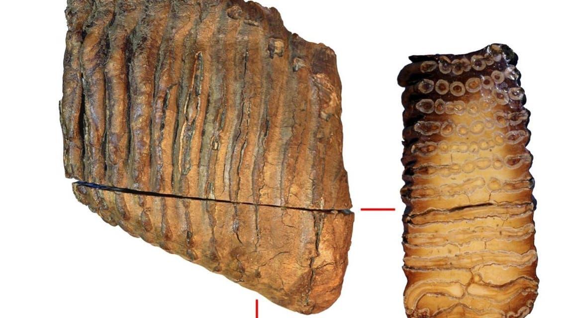 عينة من عاج الماموث يُعتقد أن عمرها حوالي 1.2 مليون سنة