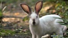غرير النمس والأرانب.. بحث مفاجئ من الصحة العالمية بووهان