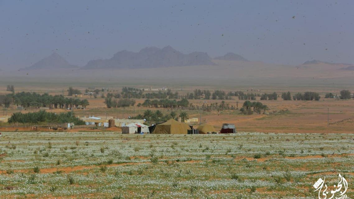 """""""White chrysanthemums"""" paint paintings in northern Saudi Arabia"""