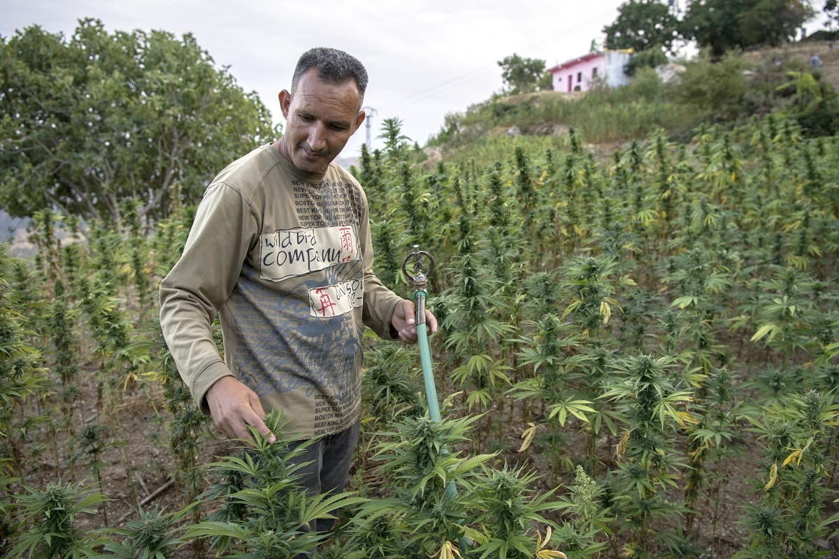 A villager stands in a field of cannabis near the town of Ketama in Morocco's northern Rif region on September 2, 2019. (AFP)