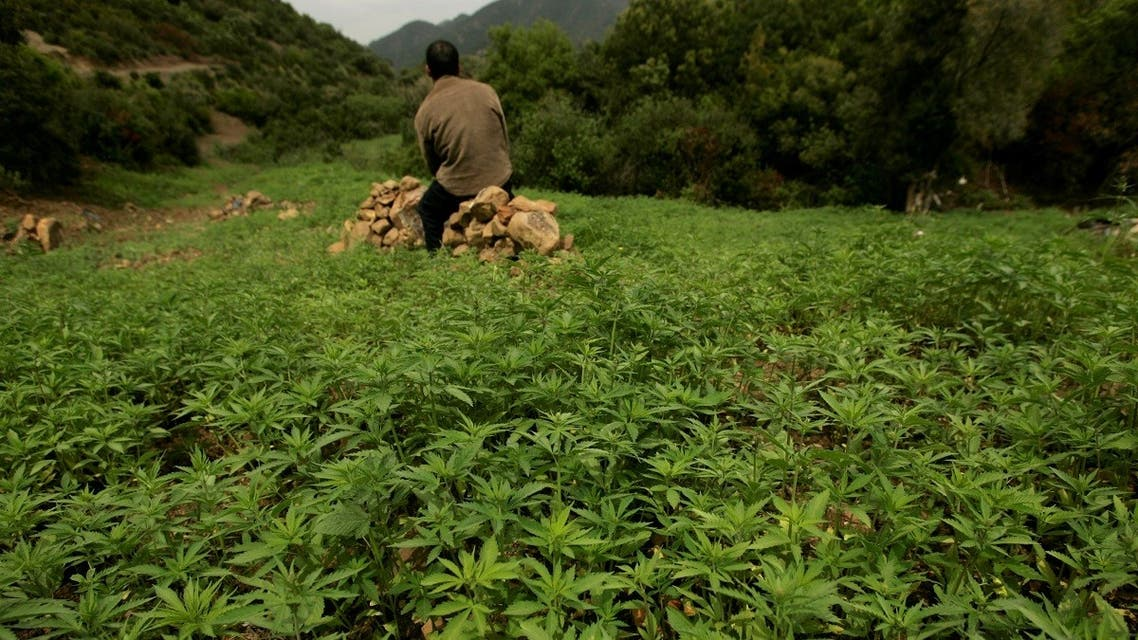 A farmer guards his plantation of cannabis near Chefchaouen, March 27, 2008. (Reuters)