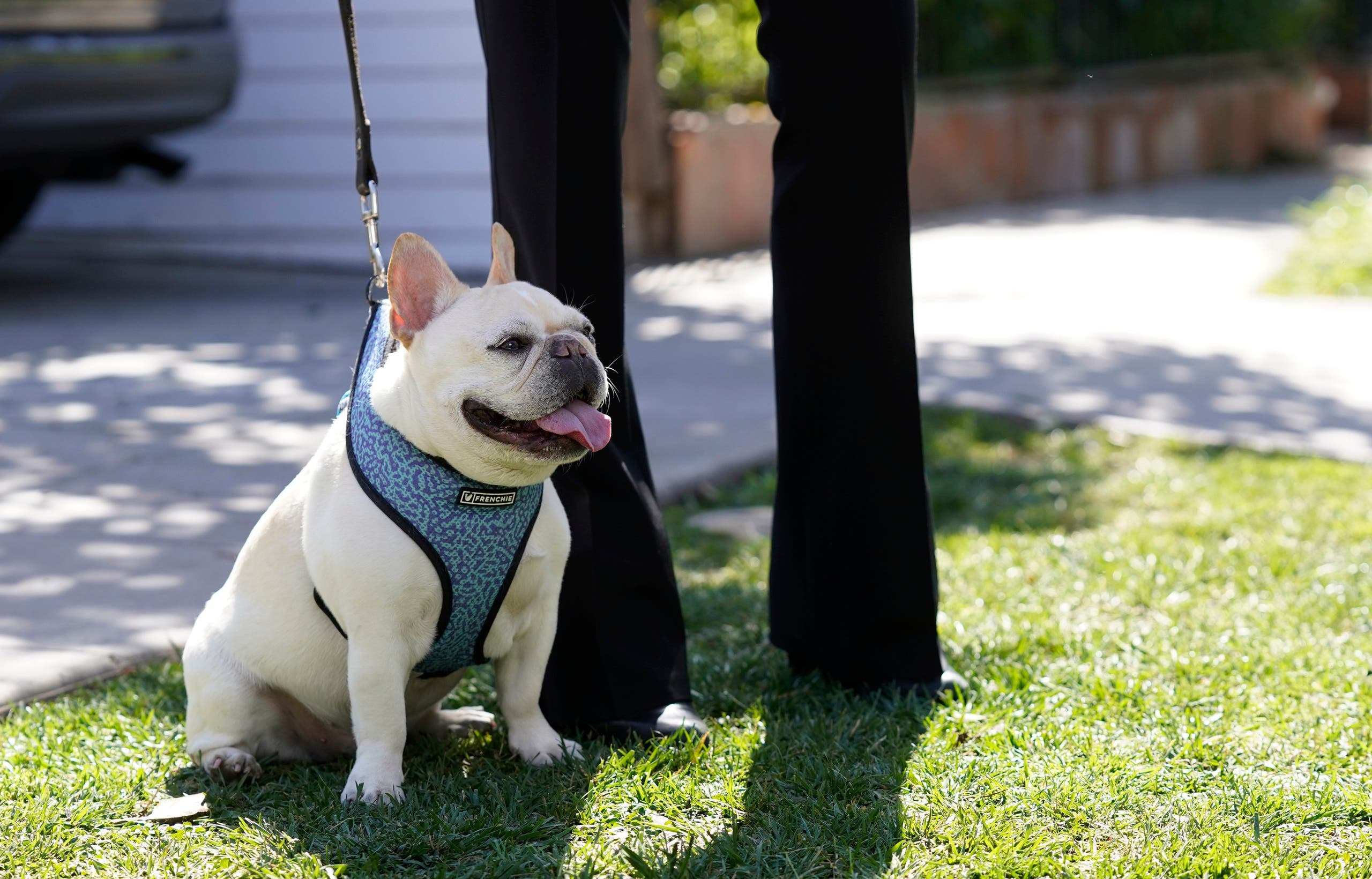 A French bulldog sits near an area on North Sierra Bonita Ave. where Lady Gaga's dog walker was shot and two of her French bulldogs stolen, Thursday, Feb. 25, 2021. (AP)