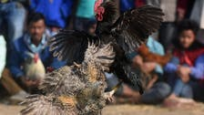 Rooster kills Indian owner with cockfight blade