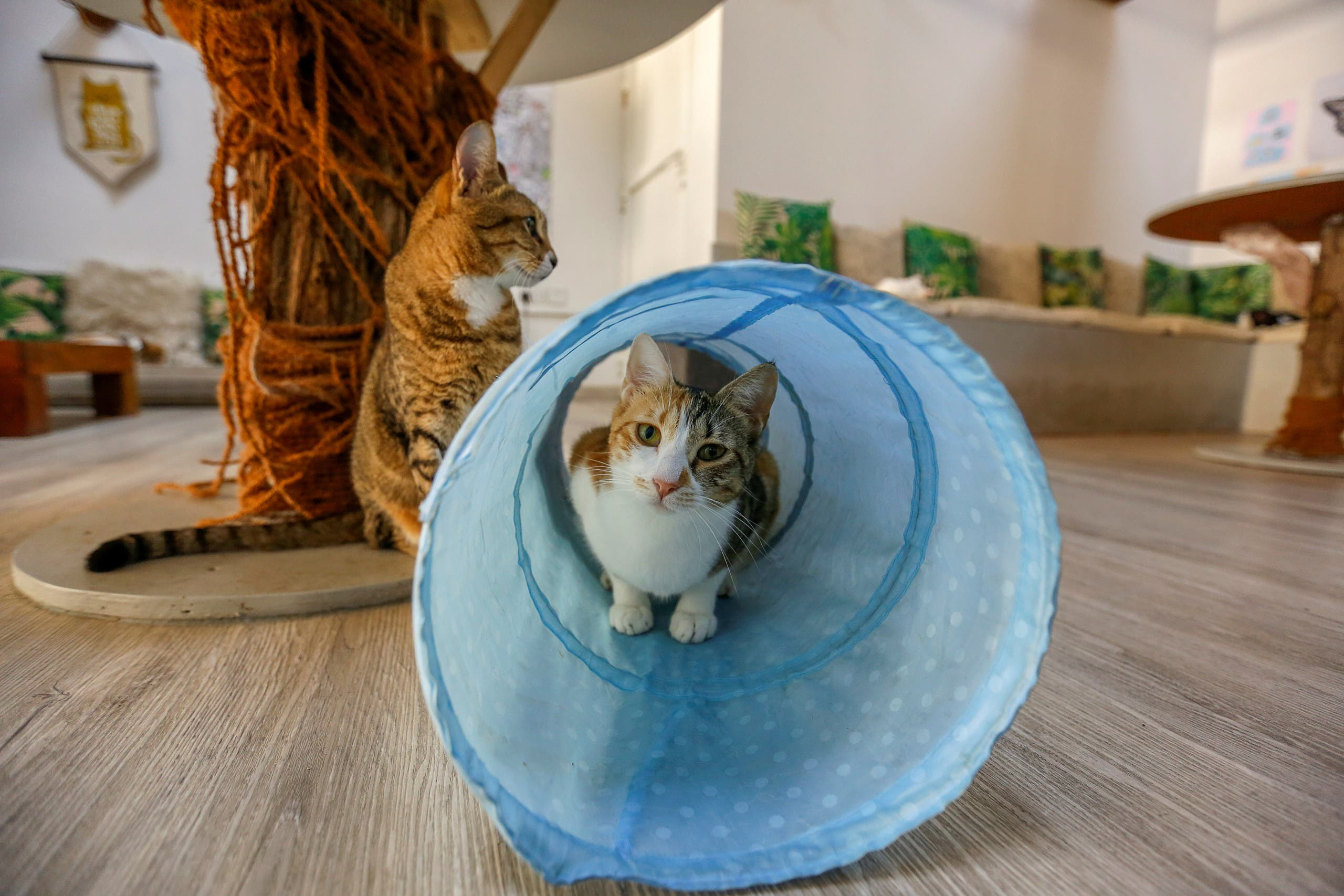 A cat is seen at the Ailuromania Cat Cafe, where customers can relax among purring felines or adopt a stray cat in Dubai, United Arab Emirates February 24, 2021. Picture taken February 24, 2021. (Reuters)