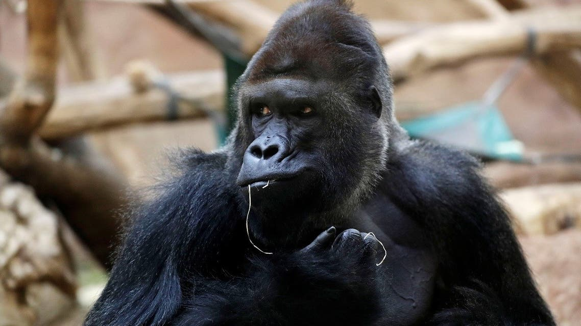 Richard, a western lowland gorilla, who was tested positive for COVID-19 on February 25, 2021, sits inside its enclosure at closed Prague Zoo. (Reuters)