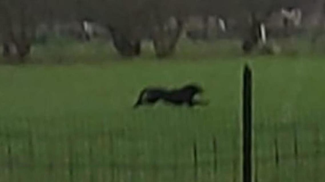 An escaped panther linked to a mafia boss in Italy has been sighted in Puglia. (Photo on social media)