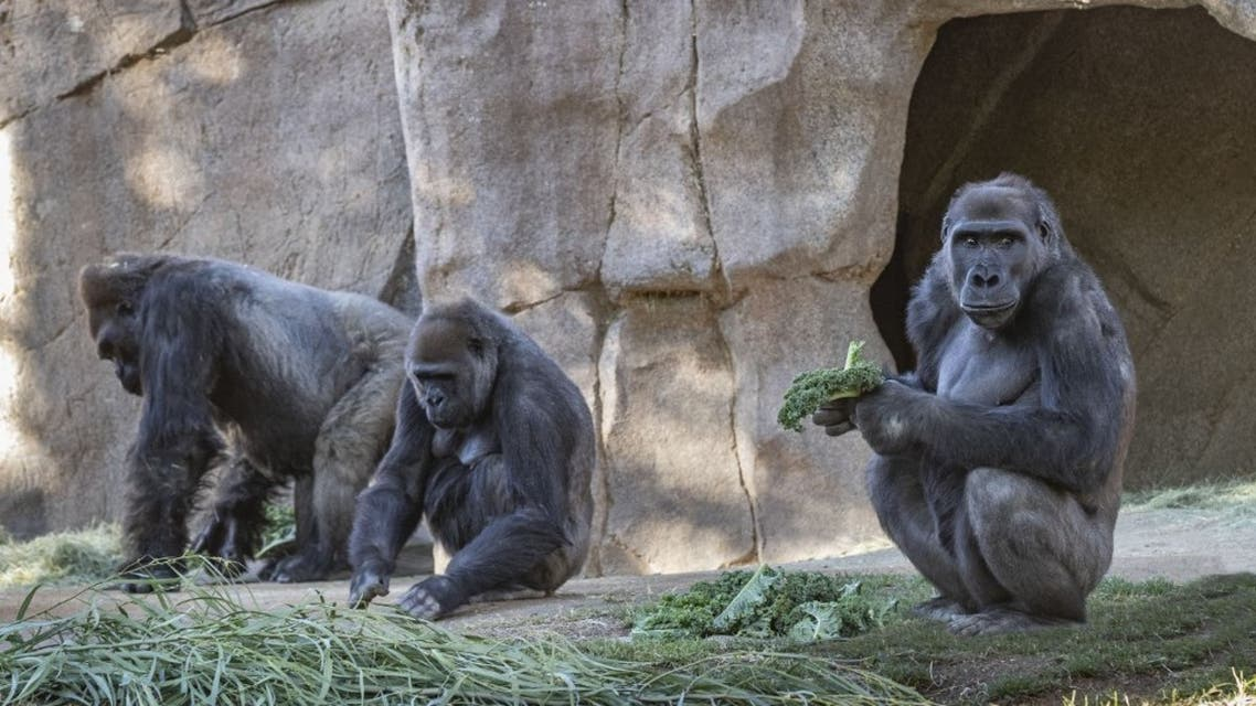 This handout photo obtained January 21, 2021 courtesy of the San Diego Zoo Global shows, a Gorilla Troop at the San Diego Zoo Safari Park that tested Positive for Covid-19. (AFP)