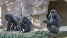 Gorillas at Atlanta zoo in US being treated for COVID-19 after testing positive