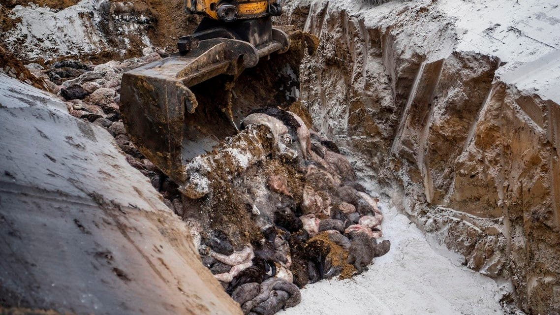 An excavator loads dead mink into a ditch as members of Danish health authorities dispose of the animals in Denmark, Nov. 9, 2020. (AFP)