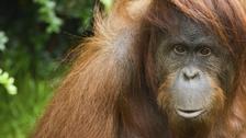 تلقيح 9 قرود ضد كورونا في حديقة الحيوانات بسان دييغو