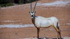 سعودی عرب: العُلا روئل کمیشن نے جنگلی جانوروں کا تیسرا مجموعہ چھوڑ دیا