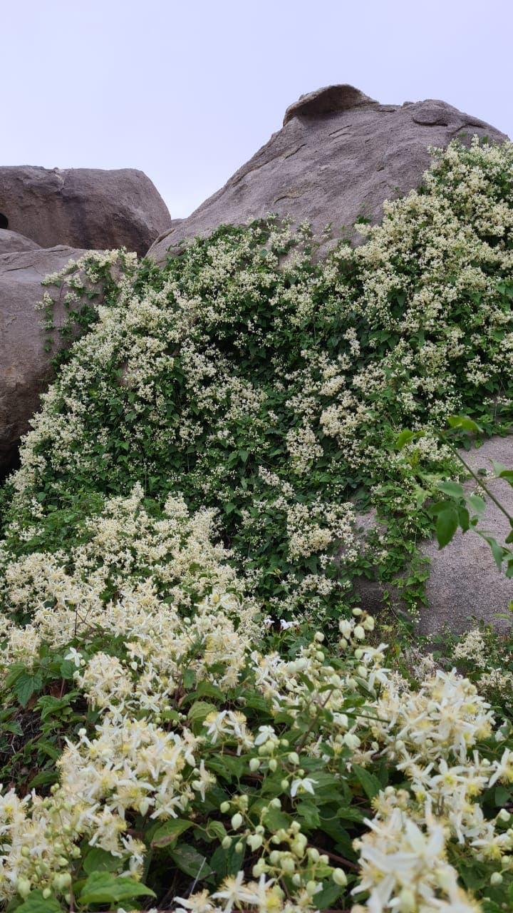 الباحہ کی پہاڑیوں پر اگنے والا نایاب جنگلی گل یاسمین