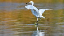 الاحسا کی 'الاصفر جھیل' قدرتی پناہ گاہ اور مہاجر پرندوں کا مسکن