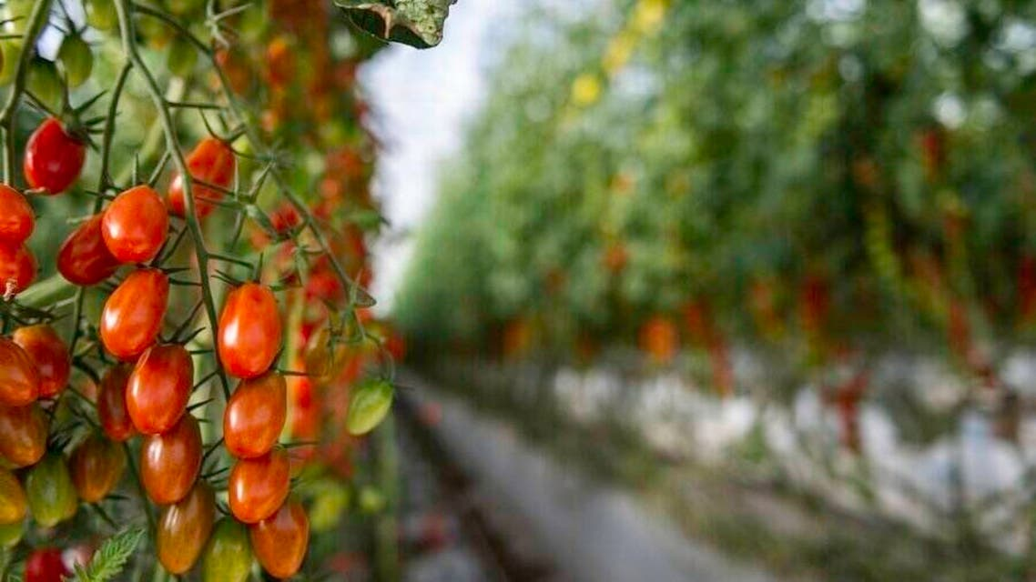 UAE agritech startup grows tomatoes in the desert. (Twitter)