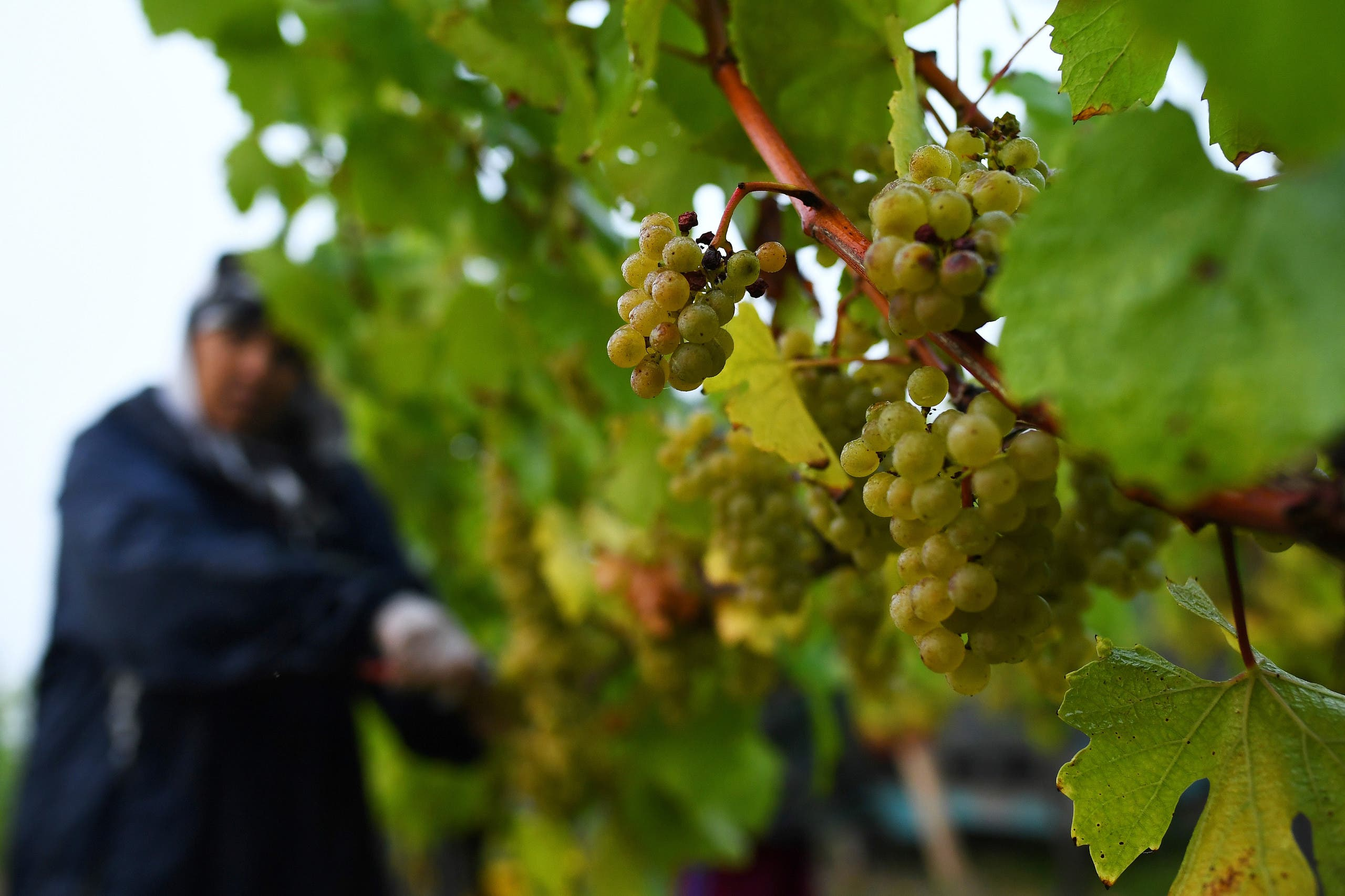 Migrant workers pick grapes at a vineyard in Aylesford, Kent, Britain, October 5, 2018. (Reuters)