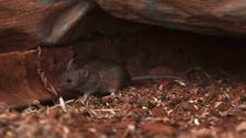 Plague of mice hits parts of rural Australia