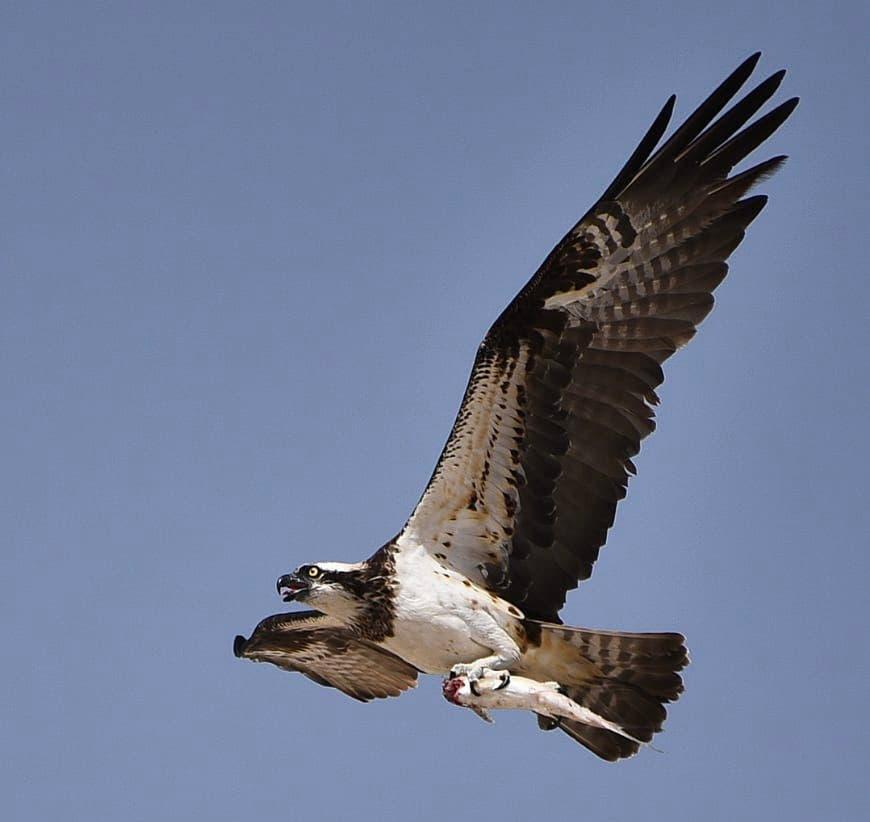 الصورة الثانية التي تم رصدها للطائر الجارح