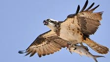 سعودی عرب کے جزیرہ 'تاروت' پر نایاب شکاری عقاب توجہ کا مرکز