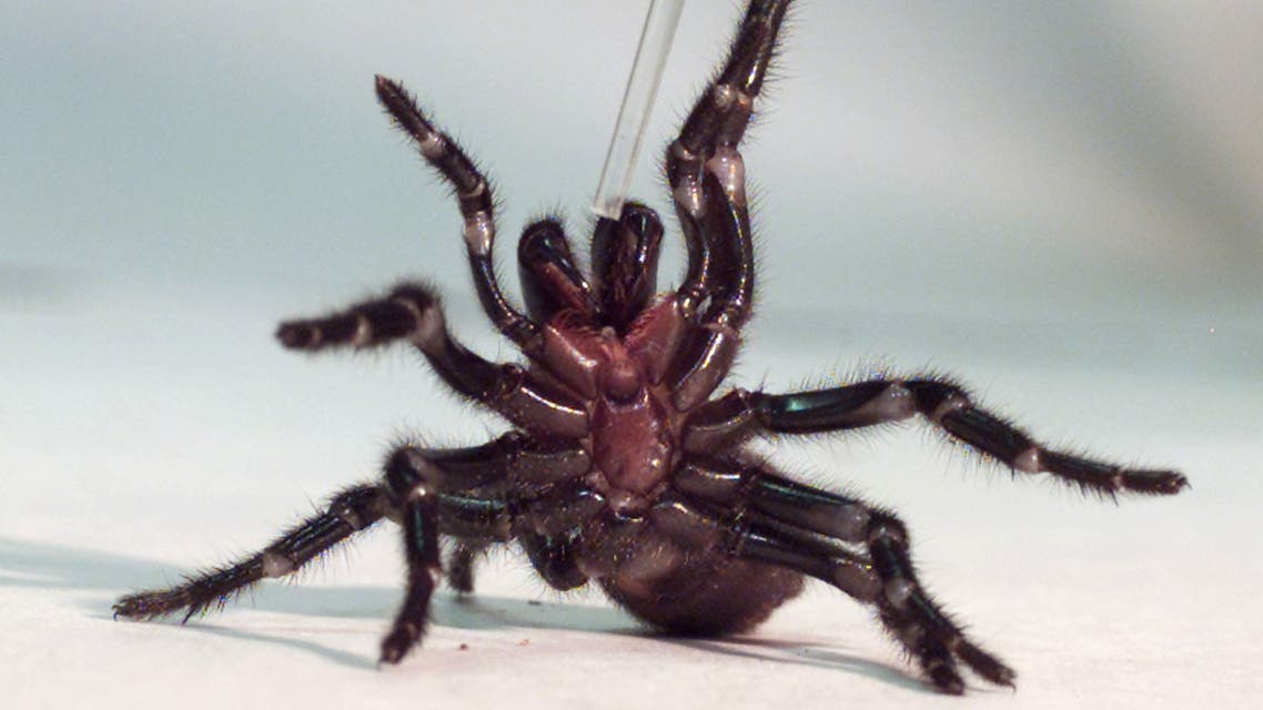 A Sydney funnel-web spider. (Reuters)