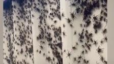 ویدیو؛ حمله عنکبوتها به خانههای مسکونی در استرالیا