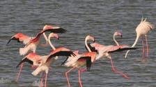 """قطیف کے ساحل سے """"فلیمنگو"""" پرندوں کی ہجرت"""