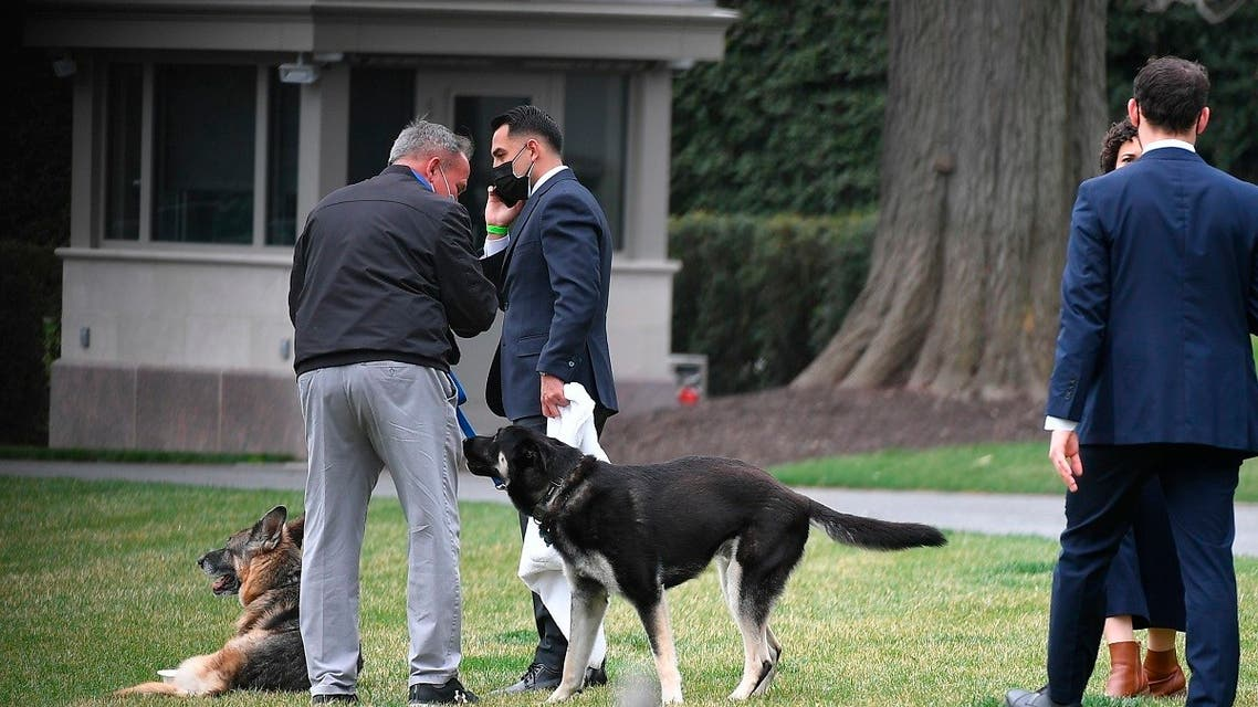 President Joe Biden and first lady Jill Biden's dogs Champ, left, and Major are seen on the South Lawn of the White House, March 31, 2021. (AP)