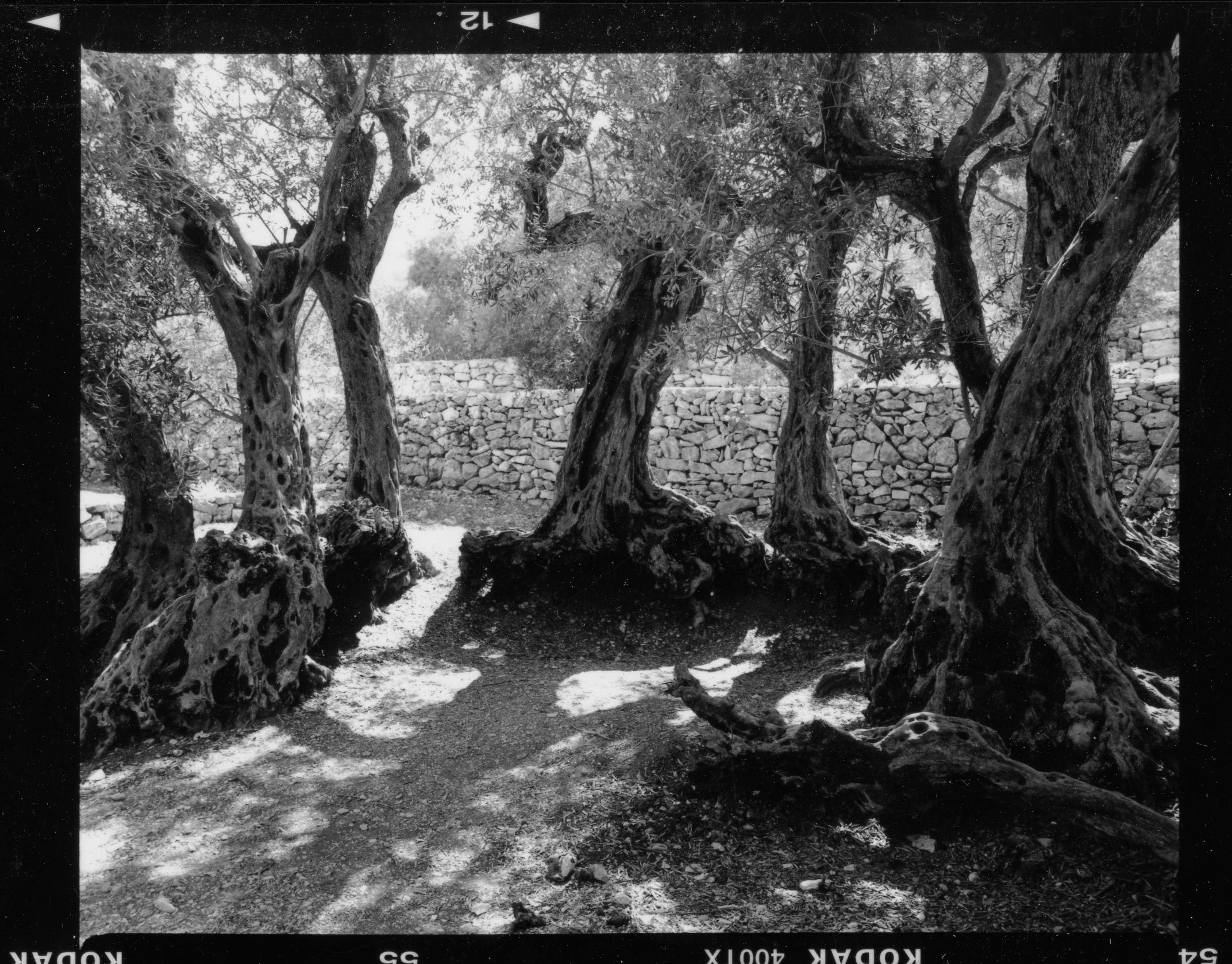 The primary focus of Warde's offering is centered on a grove of 16 millennial olive trees, located in the Lebanese village of Bchaaleh which are several thousand years old, and have served as a gathering place for residents for generations. (Image: Fouad Elkoury)