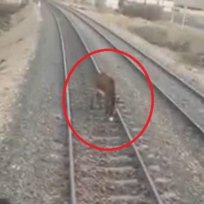 فيديو يظهر حمارا.. وسائق يمنع كارثة قطار في مصر